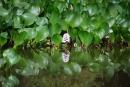 Vodný hyacint